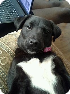 Labrador Retriever/Border Collie Mix Puppy for adoption in Gainesville, Florida - Sleeping Beauty