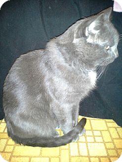 Russian Blue Cat for adoption in Ogden, Utah - Phil