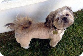 Shih Tzu Dog for adoption in Los Angeles, California - SHELDON