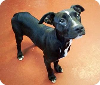 Labrador Retriever/Pit Bull Terrier Mix Puppy for adoption in Florence, Indiana - Korie