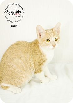 Domestic Shorthair Cat for adoption in San Antonio, Texas - Hitch