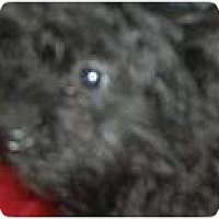 Adopt A Pet :: Thumper - VERY TINY!! - Antioch, IL