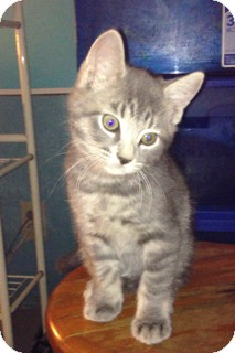 Domestic Shorthair Kitten for adoption in Piscataway, New Jersey - Thomas