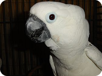 Cockatoo for adoption in Vancouver, Washington - Butterball random name