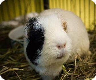Guinea Pig for adoption in Lowell, Massachusetts - Jingle Pig