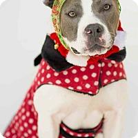 Adopt A Pet :: Gidget - Redondo Beach, CA