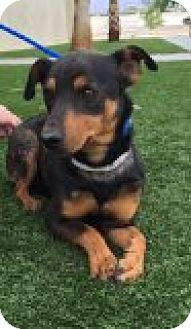 Dachshund Mix Dog for adoption in Las Vegas, Nevada - Petey