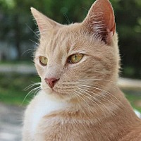 Domestic Shorthair Cat for adoption in Central Islip, New York - Boots