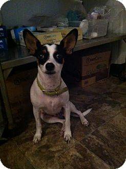 Chihuahua/Rat Terrier Mix Dog for adoption in Darlington, South Carolina - Noah
