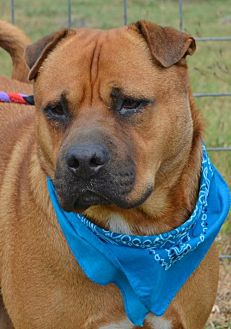 Shar Pei/Shepherd (Unknown Type) Mix Dog for adoption in Liverpool, Texas - DRAKE
