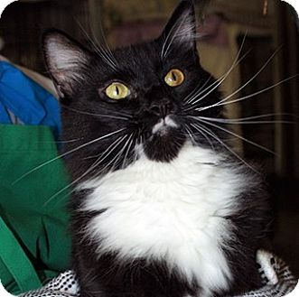 Domestic Mediumhair Cat for adoption in Fallbrook, California - Shamrock