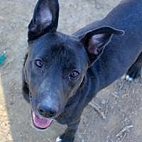 Labrador Retriever Dog for adoption in Memphis, Tennessee - Smokey