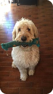 Goldendoodle Dog for adoption in Whittier, California - Theo