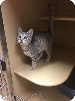 Domestic Shorthair Kitten for adoption in Plymouth Meeting, Pennsylvania - J J