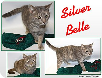 Domestic Shorthair Cat for adoption in Cuba, Missouri - Silver Belle