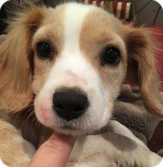 Beagle/Hound (Unknown Type) Mix Puppy for adoption in Spring, Texas - Bonnie