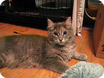 Domestic Longhair Cat for adoption in Milwaukee, Wisconsin - Glameow
