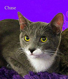 Domestic Shorthair Cat for adoption in Monrovia, California - Chase