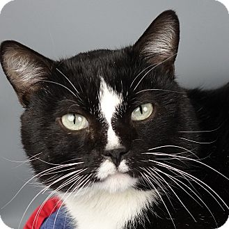 Domestic Shorthair Cat for adoption in Columbia, Illinois - Mr February