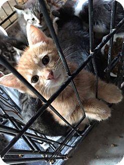 Domestic Shorthair Kitten for adoption in Marion, Illinois - Tracker