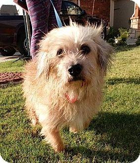 Dachshund/Terrier (Unknown Type, Small) Mix Dog for adoption in Oklahoma City, Oklahoma - Natalie