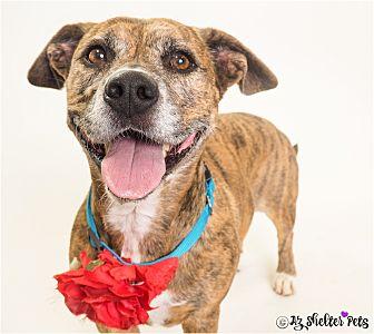 American Staffordshire Terrier/Dachshund Mix Dog for adoption in Phoenix, Arizona - Chelsea