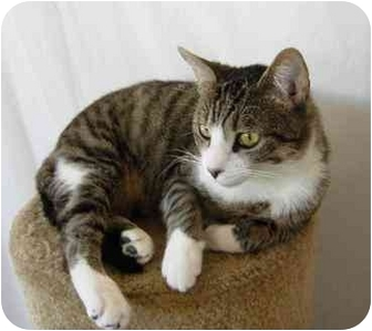 Domestic Shorthair Cat for adoption in San Diego, California - Griffen