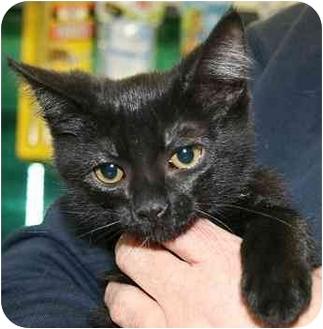 Domestic Shorthair Kitten for adoption in House Springs, Missouri - Spider