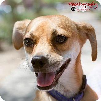 Chihuahua Mix Dog for adoption in Phoenix, Arizona - Greg Brady