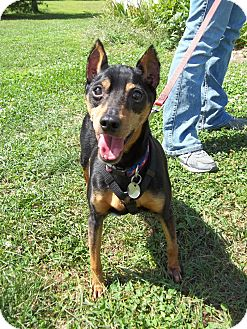 Miniature Pinscher Dog for adoption in New Milford, Connecticut - William