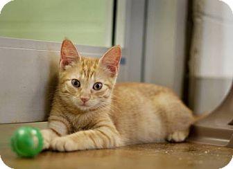 Domestic Shorthair Kitten for adoption in Carencro, Louisiana - Madison