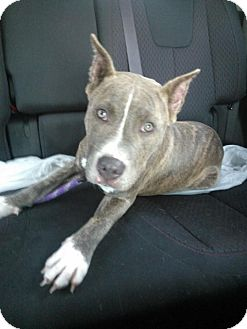 American Pit Bull Terrier Mix Puppy for adoption in Orlando, Florida - Bally