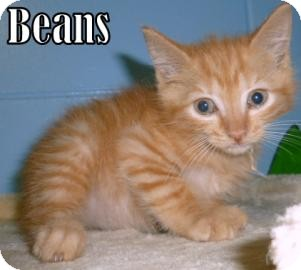 Domestic Shorthair Kitten for adoption in Georgetown, South Carolina - beans