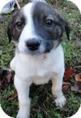 Border Collie/Beagle Mix Puppy for adoption in Harrisonburg, Virginia - Johnny Domino