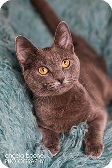Domestic Shorthair Kitten for adoption in Eagan, Minnesota - Cinderella
