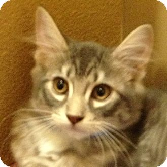 Domestic Shorthair Kitten for adoption in Weatherford, Texas - Silver
