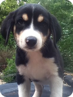 Greater Swiss Mountain Dog/Bernese Mountain Dog Mix Puppy for adoption in Westport, Connecticut - Ralph PENDING