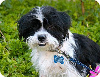 Shih Tzu/Terrier (Unknown Type, Medium) Mix Puppy for adoption in Los Angeles, California - Nabisco