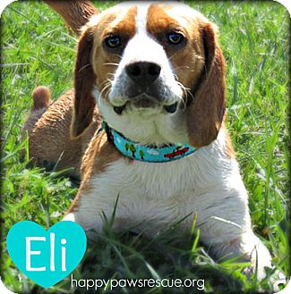 Beagle Dog for adoption in South Plainfield, New Jersey - Eli