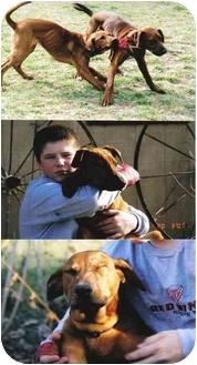 Redbone Coonhound/Labrador Retriever Mix Puppy for adoption in Buffalo, New York - Rudyard and Jaspar