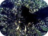 German Shepherd Dog Dog for adoption in Littleton, Colorado - GSD Girl