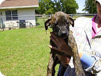 Boxer/Mastiff Mix Puppy for adoption in Rayville, Louisiana - Mack