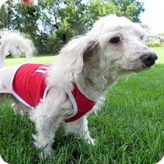 Poodle (Toy or Tea Cup) Mix Dog for adoption in Janesville, Wisconsin - Buzz