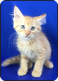Domestic Mediumhair Kitten for adoption in Carencro, Louisiana - Marcella