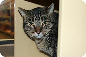 Domestic Shorthair Cat for adoption in Rochester, Minnesota - Shitake