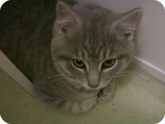 Domestic Shorthair Kitten for adoption in Middletown, Ohio - Tinkerbell