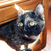 Domestic Shorthair Cat for adoption in Boston, Massachusetts - Liesel