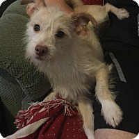 Adopt A Pet :: Baylor - Chicago, IL