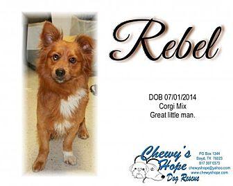 Corgi/Pomeranian Mix Dog for adoption in Boyd, Texas - Rebel