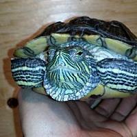 Adopt A Pet :: Nikki - Pefferlaw, ON